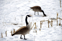 Ruffled feathers - Geese cause headaches across county