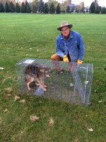 What do you do once you???ve caught a coyote?